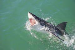 Stor vit haj som anfaller lockfågel 4 royaltyfria bilder