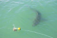 Stor vit haj som förföljer lockfågel 2 Arkivbild