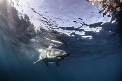 Stor vit haj under glansig vattenyttersida Fotografering för Bildbyråer