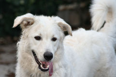 Stor vit hund Arkivfoto