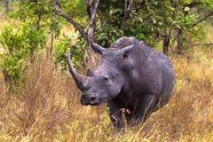 Stor vit noshörning Meru parkerar Arkivfoton