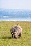 Stor vit noshörning Nakuru Royaltyfria Foton