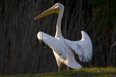 Stor vit pelikan arkivfoto