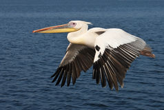 Stor vit pelikan - Namibia Arkivfoton