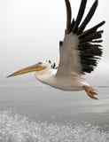 Stor vit pelikan - Namibia Royaltyfri Fotografi