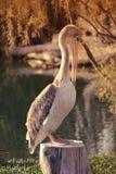 Stor vit pelikan också som är bekant som den östliga vita pelikan, rosig pelikan eller den vita pelikan Arkivfoton