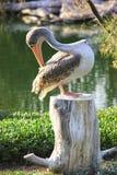 Stor vit pelikan också som är bekant som den östliga vita pelikan, rosig pelikan eller den vita pelikan Royaltyfria Bilder