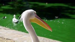Stor vit pelikan på ett damm i sommaren lager videofilmer