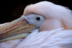 Stor vit pelikan - Pelecanusonocrotalus Arkivfoto