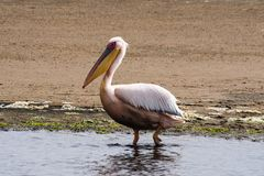 Stor vit pelikan, Pelecanusonocrotalus i den Walvis fj?rden, Namibia arkivfoto