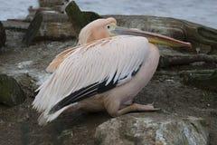 Stor vit pelikan, Pelecanusonocrotalus, i vinterfärg Royaltyfri Foto