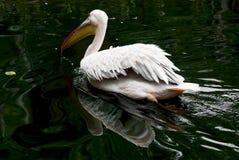 Stor vit pelikan (Pelecanusonocrotalus) på vattnet Arkivfoton