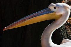 Stor vit pelikan (Pelecanusonocrotalusen) Arkivfoto