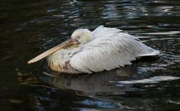 Stor vit pelikan som svävar på det mörka vattnet Arkivfoto