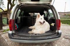 Stor vit schweizareherde i bilen Bärande hund i bilen Tr Royaltyfria Foton