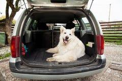 Stor vit schweizareherde i bilen Bärande hund i bilen Tr Arkivbilder