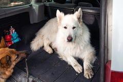 Stor vit schweizareherde i bilen Bärande hund i bilen Tr Arkivfoton