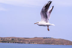 Stor vit seagull som snabbt flyger över havet Arkivbilder