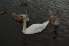 Stor vit svan med fågelungar fotografering för bildbyråer