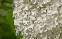 Stor vit vanlig hortensiablomma Fotografering för Bildbyråer