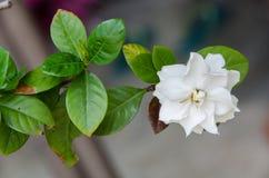 Stor vitblomma Fotografering för Bildbyråer