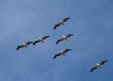 Stor vitpelikan för amerikan i flyg Arkivbilder