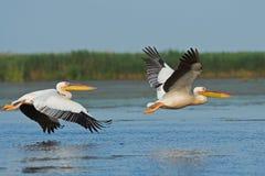 Stor vitpelikan för amerikan i flyg Arkivfoto