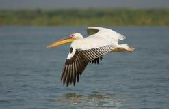 Stor vitpelikan för amerikan i flyg Fotografering för Bildbyråer