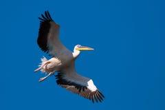 Stor vitpelikan i flyg Fotografering för Bildbyråer