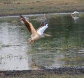 Stor vitpelikan i flyg Royaltyfri Bild