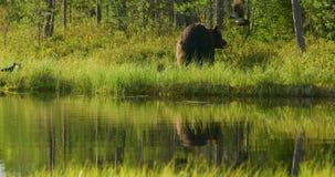 Stor vuxen brunbjörn som fritt bor i skogen lager videofilmer