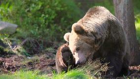 Stor vuxen brunbjörn som kopplar av och skrapar i skogen lager videofilmer