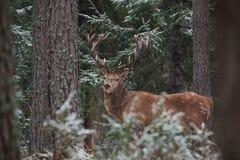 Stor vuxen nobel röd hjort med stora hornställningar bland Snö-täckt sörjer och blicken på dig Europeiskt djurlivlandskap med De arkivfoton