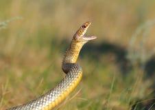 Stor whipsnake i attack Arkivfoton