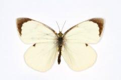 stor white Arkivbild