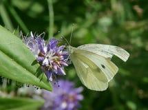 stor white för fjäril Arkivfoton