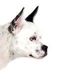 stor white för sida för öron för svart hund rolig royaltyfri bild