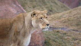 Stor wild katt Arkivfoton