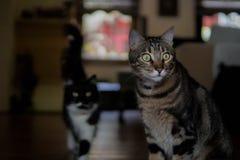 Stora ögon för strimmig kattkatt, en annan katt i bakgrund royaltyfri foto