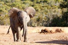 Stora öron - afrikanBush elefant Royaltyfria Bilder