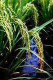 Stora öron av ris arkivbilder