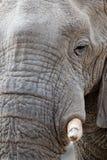 Stora afrikanska elefanter på den Etosha nationalparken royaltyfria bilder