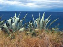 Stora Agaveväxter bredvid havet Fotografering för Bildbyråer