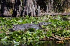 Stora amerikanska alligatorer, fristad för djurliv för Okefenokee träsk nationell Arkivbilder