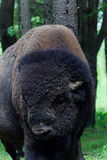 Stora amerikanska Buffel-materiel foto Arkivfoton
