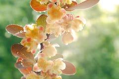 Stora barberryblommor med vattendroppar efter ett regn p? en solig v?rdag i tr?dg?rden N?rbild Selektivt fokusera arkivbild