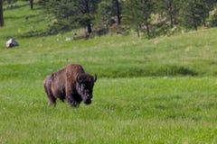 Stora Bison Bull royaltyfria bilder