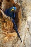 Stora blått mekaniskt säga efter Hyacinth Macaw, den Anodorhynchus hyacinthinusen, i trädredehål, Pantanal, Brasilien, Sydamerika royaltyfri bild