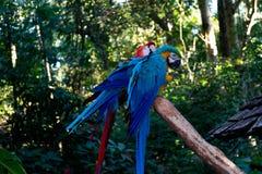 Stora blått och röda talande munkhättapapegojor i zoo royaltyfri foto