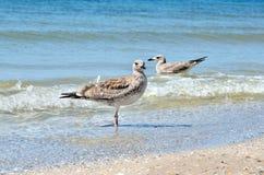 Stora Black Sea seagulls i den naturliga livsmiljön Arkivfoto